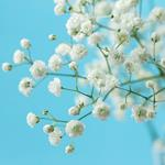 pixwords GYPSOPHILE